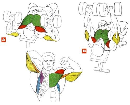 Жим гантелей для грудных мышц